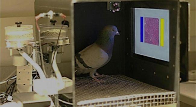 A pigeon views a digitized slide
