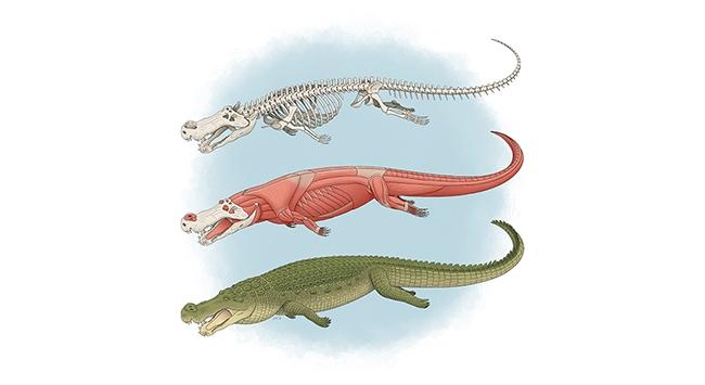 Illustration of Deinosuchus by Tyler Stone: https://tylerstoneart.wordpress.com/