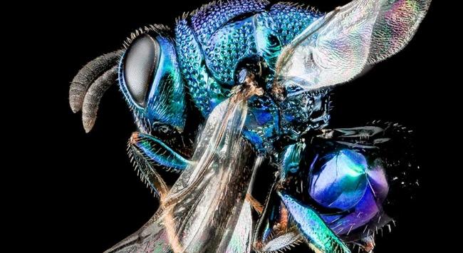 Perilampid wasp